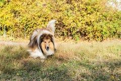 Psi collie w parku Zdjęcie Stock
