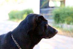 Psi czarnej, psiej głowy zakończenie, Psi organ nadzorczy, psi czarny portreta obrazek fotografia royalty free