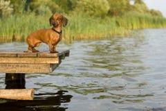 psi czekanie Zdjęcia Royalty Free