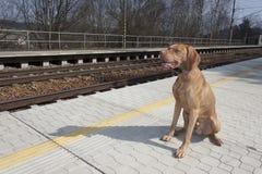 Psi czekanie dla jego mistrza wiejska stacja, wiosna dzień Fotografia Stock