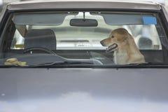 Psi czekanie właściciel w samochodzie Obrazy Royalty Free