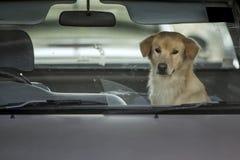 Psi czekanie właściciel w samochodzie Fotografia Royalty Free