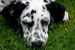 psi dalmatian leżącego young Obrazy Royalty Free