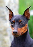 psi doberman portret Fotografia Royalty Free