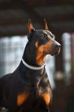 psi dobermana przystojny zdjęcia stock