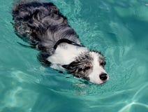 psi dopłynięcie Zdjęcie Royalty Free