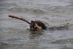 Psi dopłynięcie Zdjęcie Stock