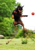 psi doskakiwanie Zdjęcia Royalty Free