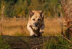 psi doskakiwanie Obrazy Stock