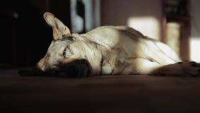 Psi dosypianie na dywanie w domu zdjęcie wideo
