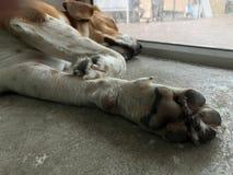 Psi dosypianie na podłoga Zdjęcia Royalty Free