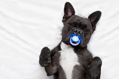 Psi dosypianie w łóżku Obrazy Royalty Free