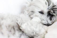 Psi dosypianie w łóżku - zakończenie up Zdjęcie Royalty Free