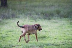 Psi działający daleko od, nietknięta samiec mieszał trakenu opuszczać obraz royalty free