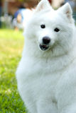 psi eskimo amerykański Obraz Stock