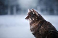 Psi Fiński Lapphund traken zdjęcia royalty free