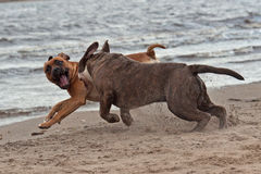 Psi figthing na plaży Obraz Stock