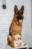 Psi fotograf Niemiecka baca z rocznik kamerą, fotografii sesja w studiu obrazy royalty free