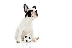 Psi francuski buldog na białej tło futbolu piłce nożnej Obraz Stock