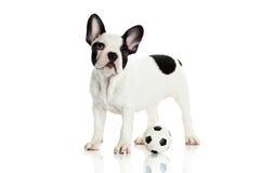 Psi francuski buldog na białej tło futbolu piłce nożnej Zdjęcia Royalty Free