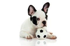 Psi francuski buldog na białej tło piłki nożnej futbolowym zwierzęciu domowym Obraz Stock
