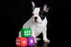 Psi francuski buldog z dices odosobnionego na czarnych tło zabawkach Obraz Stock