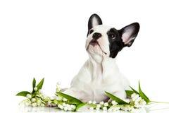 Psi francuski buldog z kwiatami odizolowywającymi na białym tle obrazy royalty free
