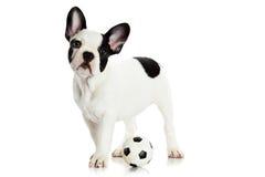 Psi francuskiego buldoga futbol na białym tle Obraz Stock