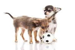 Psi futbolowy chihuahua odizolowywający na białym tle Obrazy Royalty Free