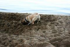 Psi głębienie Fotografia Stock