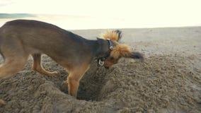 Psi głębienie dziura w piasku zbiory