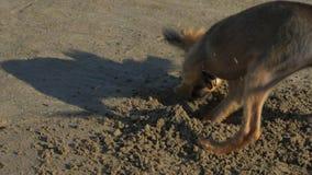 Psi głębienie dziura w piasku zdjęcie wideo