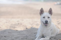 psi łgarski biel Fotografia Royalty Free