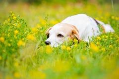 Psi łgarski puszek w lato kwiatach Obrazy Royalty Free