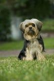 psi gazonu mieszanki terier Yorkshire Zdjęcia Stock