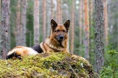 psi German owce Fotografia Stock