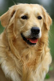 psi golden retrievera Obrazy Stock