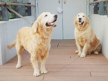 psi golden retrievera Obrazy Royalty Free