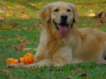 psi golden retrievera Zdjęcia Royalty Free