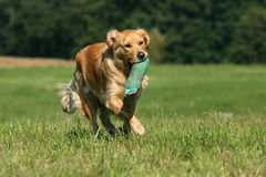 psi golden retrievera obraz royalty free