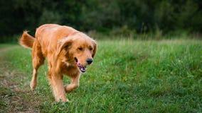 psi golden retrievera Wspaniały psi bieg przez łąki Obraz Stock