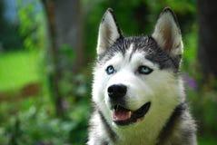 psi husky Obrazy Royalty Free