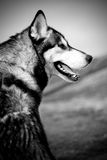 psi husky Obrazy Stock
