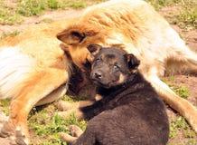 Psi i mały szczeniak Zdjęcia Royalty Free