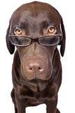 psi inteligentny patrzeć zdjęcia stock