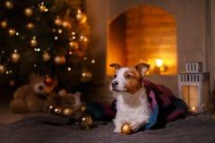 Psi Jack Russel Boże Narodzenie sezon 2017, nowy rok Obraz Royalty Free