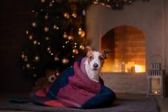 Psi Jack Russel Boże Narodzenie sezon 2017, nowy rok Zdjęcie Royalty Free