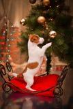 Psi Jack Russel szczeniak Boże Narodzenia, Zdjęcia Stock
