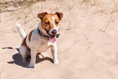 Psi Jack Russell siedzi na morzu Zdjęcia Royalty Free