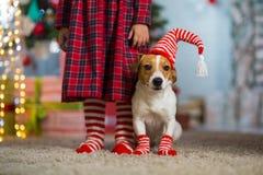 Psi Jack Russell Terrier i nogi dziewczyna w czerwonym bielu troszkę zdjęcia stock